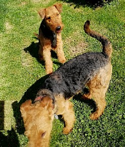 papas_besuch_c-wurf_airedale_of_wedimans_star_2019